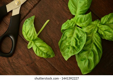 Fresh picked vibrant green basil leaves on dark wooden background in flat lay composition