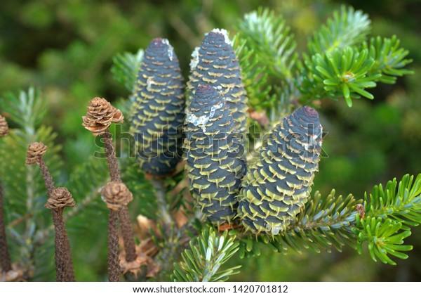 fresh pine cones in the sunshine