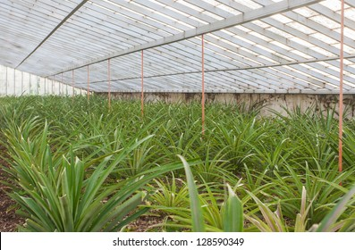 Fresh pineapples growing into glasshouse at farm. Azores, San Miguel island (Sao Miguel)