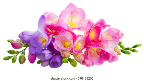 Fresh pink and blue freesia flowers with buds isolated on white background