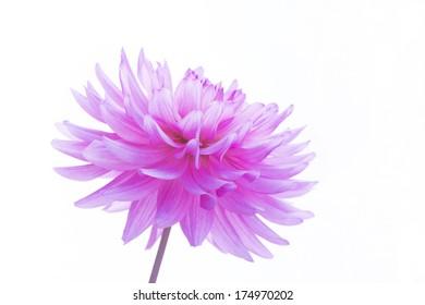 Fresh pink dahlia