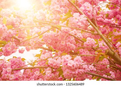 Fresh pink flowers of sakura growing in the garden, natural spring outdoor background with sun shining and copy space