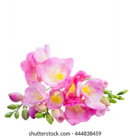 Fresh pink freesia flowers with green buds isolated on white background