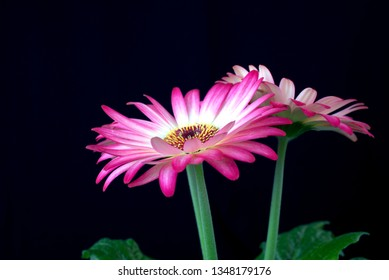 fresh, pink gerbera blooms with full force