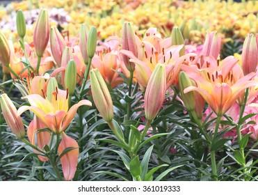 Fresh pink lilly buds flower