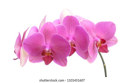 fresh pink orchids branch isolate on white background