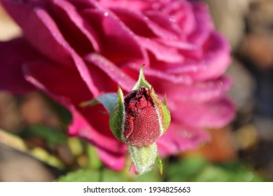 Fresh pink rose petals sparkling with morning dew drops