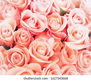 Fresh pink roses saturated full frame. Floral design, arrangement, flower production, or celebrating of special occasion such as wedding, Valentines or Mother's Day, any seasonal or romantic concepts.