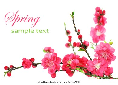 Fresh, pink, spring cherry tree blossoms on white background. Shallow DOF.