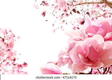 Fresh, pink, spring magnolia tree blossoms on white background. Shallow DOF.