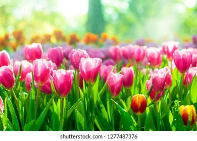 Fresh pink Tulip flowers background with raindrops in the garden, Soft focus background