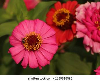 Fresh pink zinnia flowers in the garden. Zinnia can be used as an ornamental plant, dyeing fabric, food coloring, coloring, painting and drying, brew hot water to drink. (Zinnia violacea)