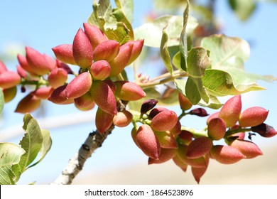fresh pistachios in the branches of the tree