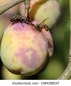fresh plum cake and insects