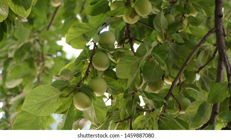 fresh plums on branch,leafy plum tree, fresh green plums, large amounts of plums on the tree,