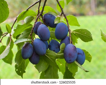 Fresh plums right before the harvest