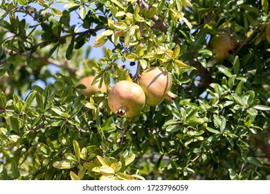 fresh pomegranate on the tree