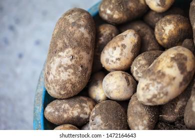 Fresh potatoes in blue pots. Harvesting time.