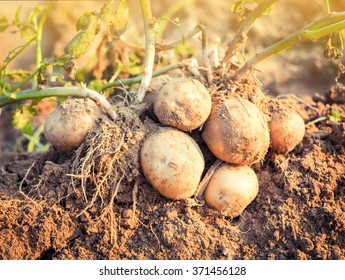 Fresh potatoes dug out of the ground on a farm