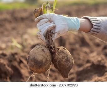fresh potatoes in the field.