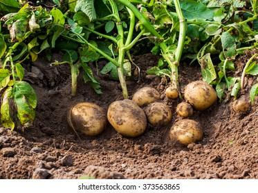 fresh potatoes in the field