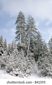 Fresh Powder on Trees