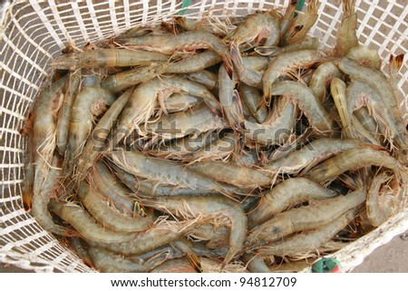 fresh prawns in an aquatic products farms, north china
