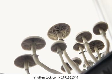 Fresh Psilocybin shroom. Psilocybin cubensis mushroom. Hallucinogenic Psychedelic drug