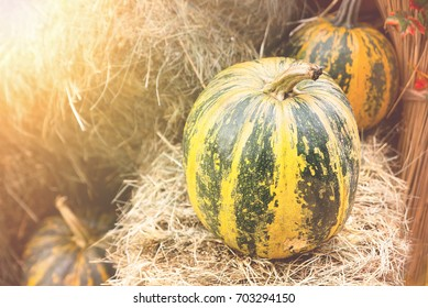 Fresh pumpkins, fall harvesting. Vegetable