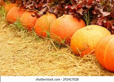 Fresh pumpkins in nature at the garden.