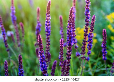 Fresh purple flowers of sage or Salvia divinorum
