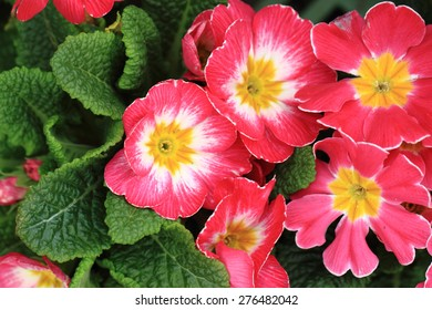 fresh purple primrose as natural flower background