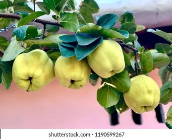 Fresh quinces tree