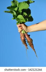 fresh radish in hand against blue sky