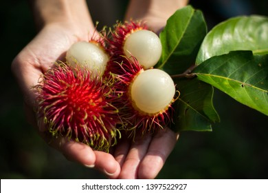 Fresh rambutan with leaves in your hand, Ripe rambutan ready to eat, peeling rambutan.