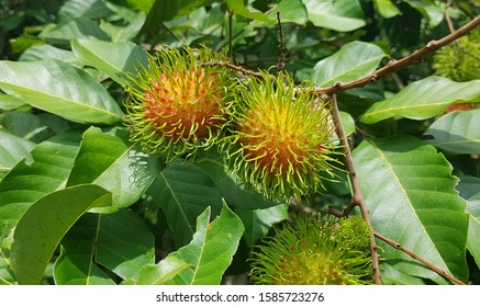 Fresh rambutan on the tree