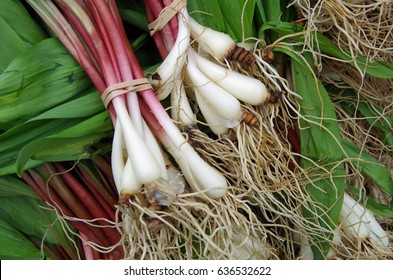 Fresh ramps with roots for farmer market