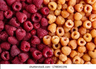 Fresh raspberries background: Close up of two types Raspberry fruit, Golden Yellow Raspberry and Red Raspberries