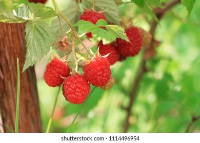 Fresh raspberries in green garden