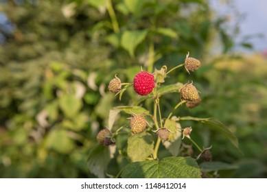Fresh raspberries on the bush.