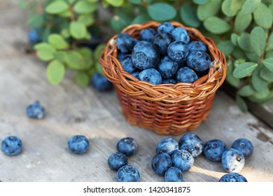 Fresh raw blueberries with leaves on wooden background in garden.Organic bilberry food.