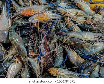 Fresh raw Giant freshwater prawn on sale in the market.