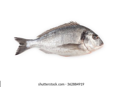 Fresh raw Gilt-head sea bream isolated on a white background.