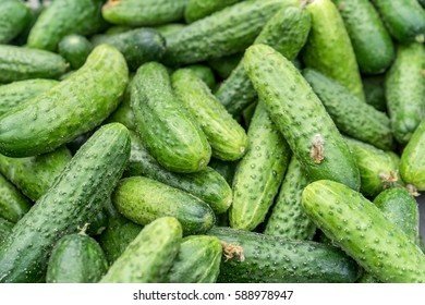 Fresh, raw, green cucumbers / cucumbers / vegetables