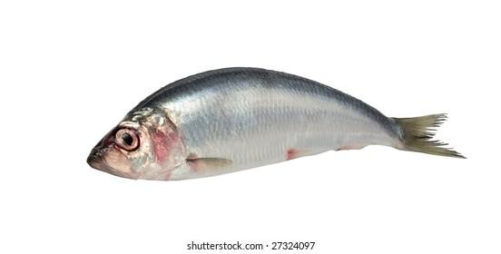 Fresh raw herring isolated on white