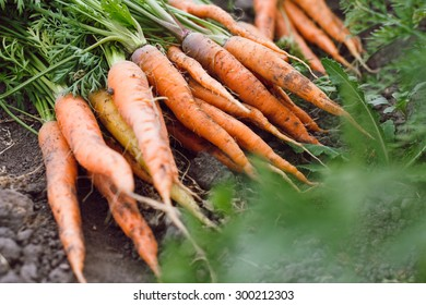 Fresh raw orange carrots with tops lying on the ground, vegetable garden on a background, close up