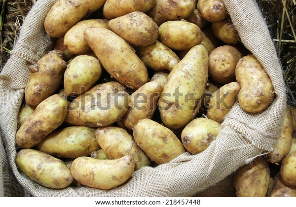 fresh raw potato in sack bag background from agriculture harvest, Harvest potatoes in burlap sack on rustic background, Raw potato food . Fresh potatoes in an old sack on wooden background