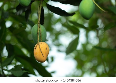 Fresh Raw and ripe  Mango on tree, Summer fruit on tree.