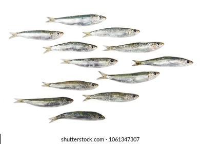 Fresh raw sardines isolated on white background.