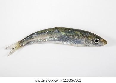 Fresh raw sardines isolated on gray background.